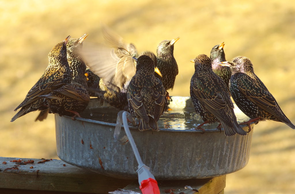 Old metal pan used as a birdbath, with nine Starlings standing around the rim.