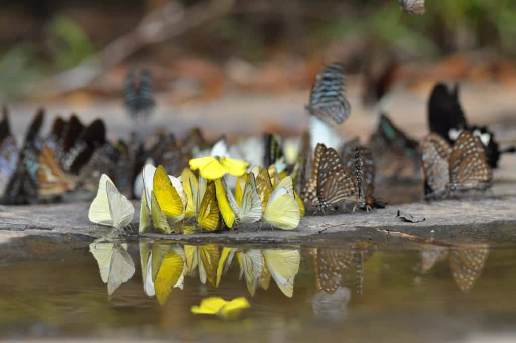Numerous butterflies, some colored yellow and others are brown, gathered at a mud puddle.