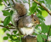 All about Fox Squirrels and Gray Squirrels