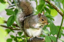 Eastern Gray Squirrel standing on a tree limb.