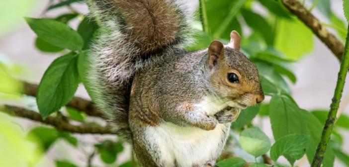 Grey fox squirrel - photo#24