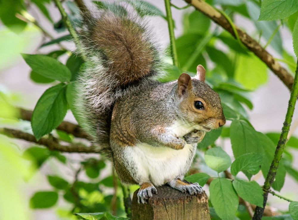 Eastern Gray Squirrel Standing On A Tree Limb