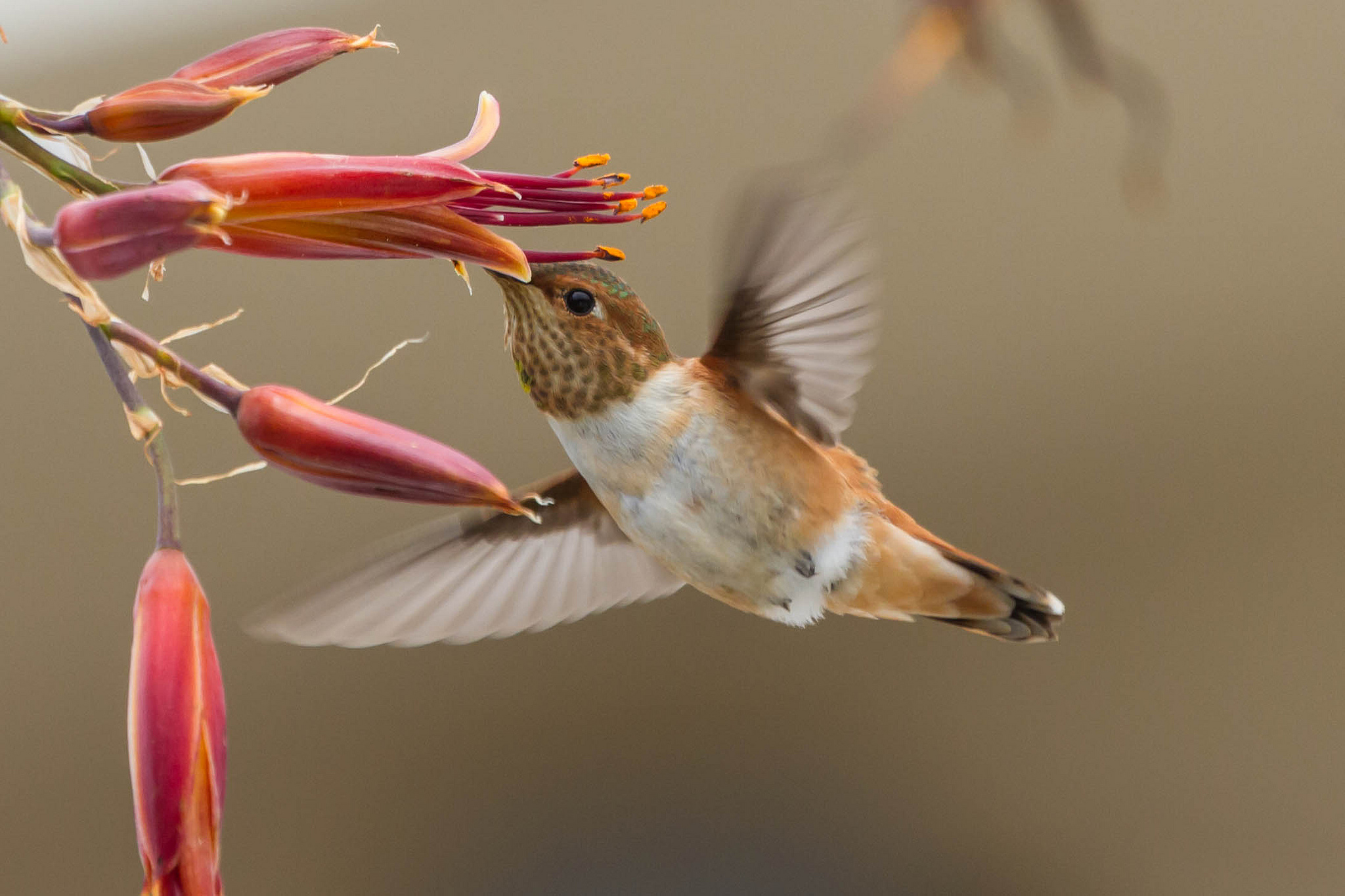 Native Plants For Hummingbirds Welcome Wildlife