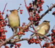 Cedar Waxwings in crabapple tree. (Liz West / Flickr; cc by 2.0)