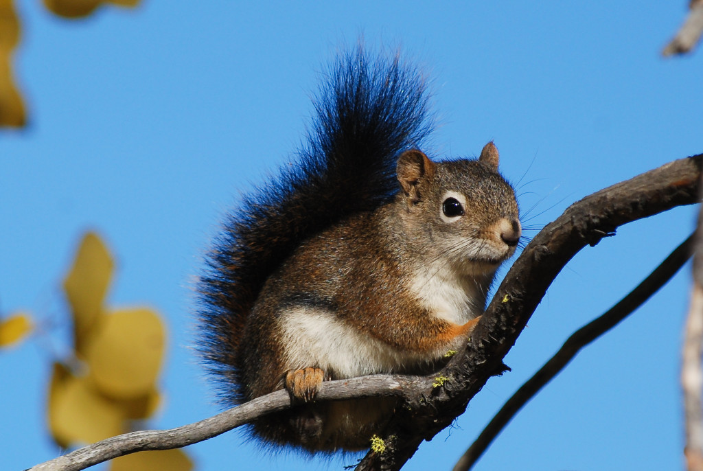 A Douglas's squirrel, one of the so-called pine squirrels, standing on a thin tree branch and outlined by a brilliant blue sky.