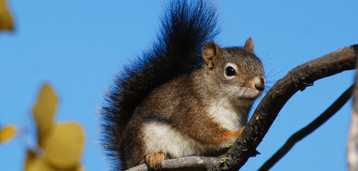 Meet the pine squirrels