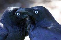 Two Ravens facing each other.