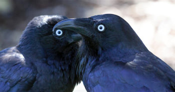 Ravens andf smartest birds in the world