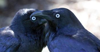 World's smartest birds