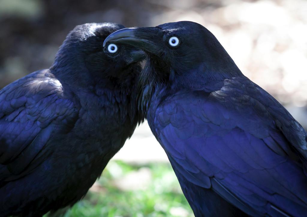 Ravens L