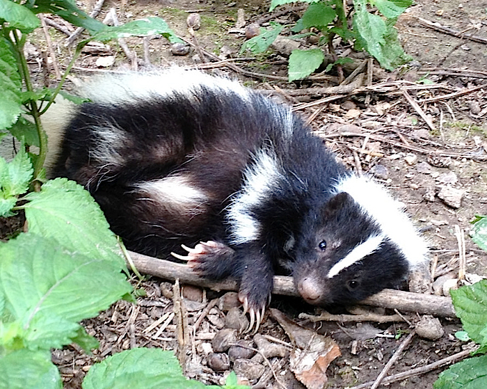 Cute young Striped Skunk lying on its side, resting.
