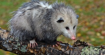 Image of a Virginia Opossum standing on a log.