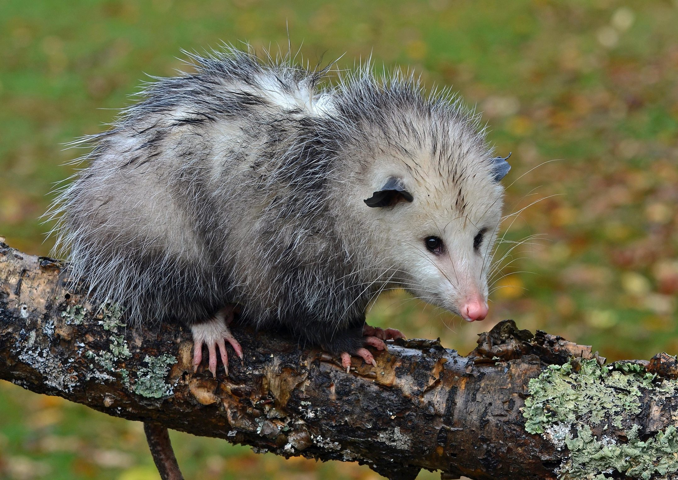 Virginia Opossum: frequent questions | Welcome Wildlife