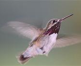 America's long-distance hummingbirds
