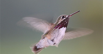 Calliope Hummingbird, Stellula calliope, in flight.