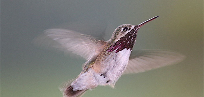 Hummingbirds that migrate thousands of miles