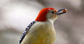Close up of male Red-bllied Woodpecker holding its favorite seed in its beak, a peanut.