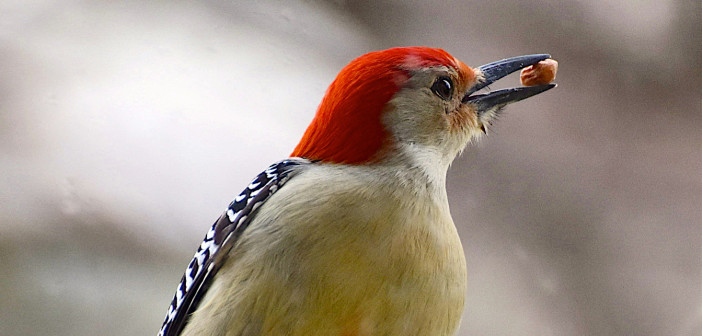 Close up of male Red-bllied Woodpecker holding a shelled peanut in his beak