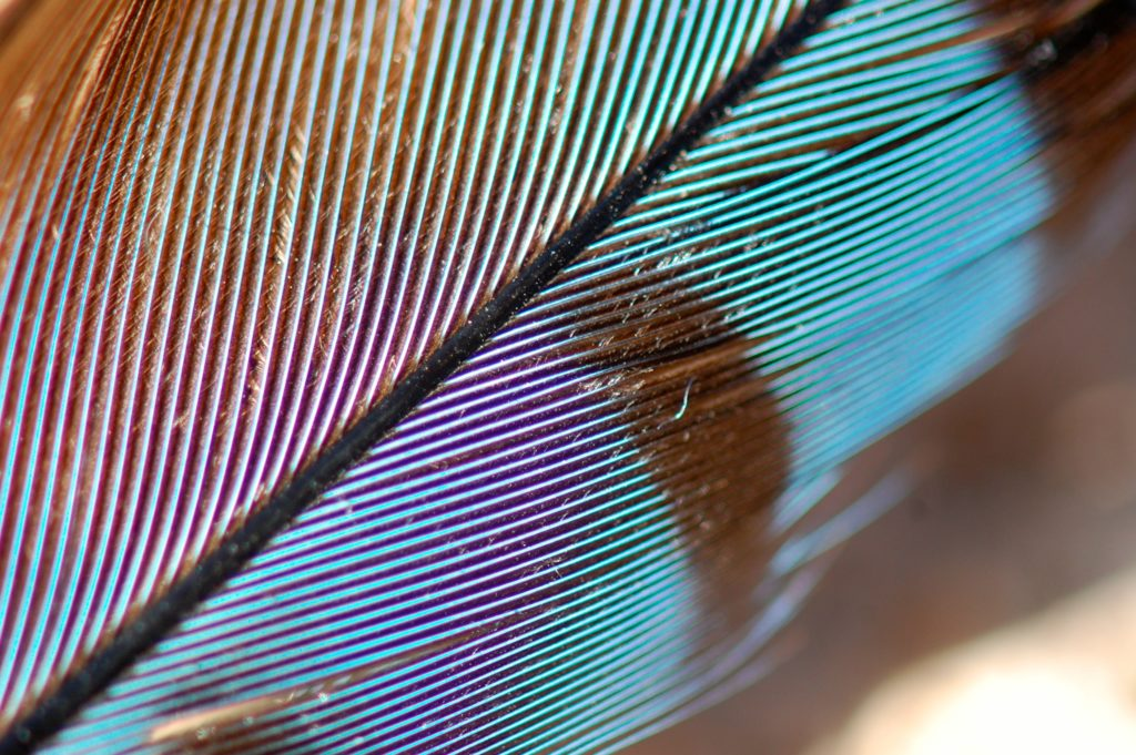Close up of a Blue Jay feather. Part of it is in the light and appears to be blue. A shadowed area is brown in color.