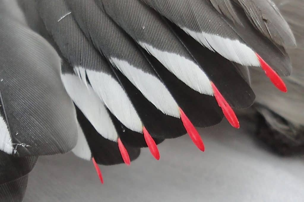 Close up of the waxy-looking red tips of the gray and white feathers of a Bohemian Waxwing bird.