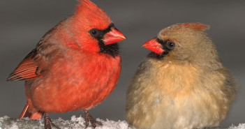 Northern Cardinal male and female, heads turned toward each other and sitting on top of snow-covered surface.