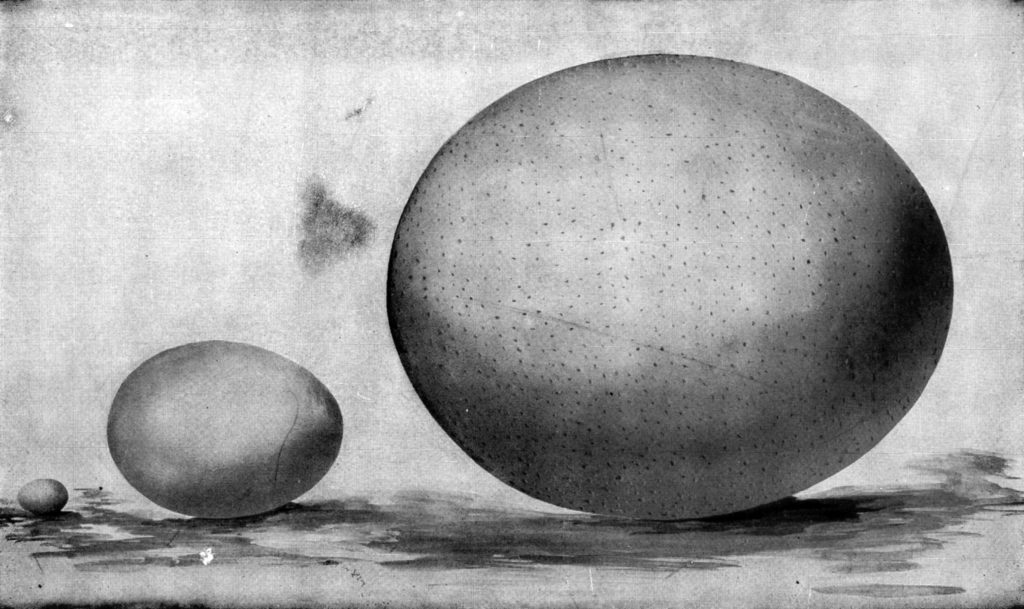 Black and white drawing of three eggs side by side, left-to-right, hummingbird, hen, Ostrich.