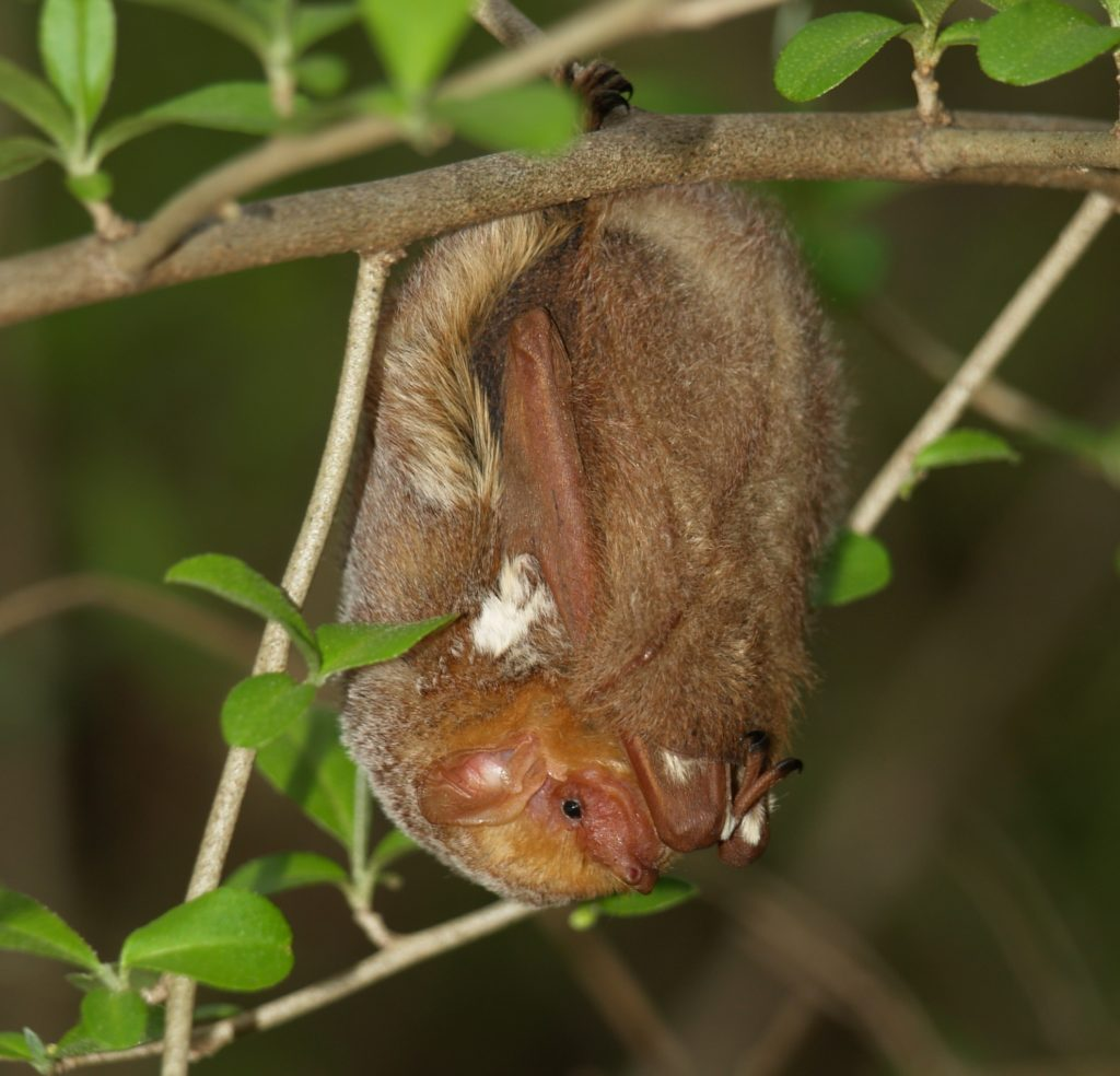 Eastern Red Bat (Lasiurus borealis).