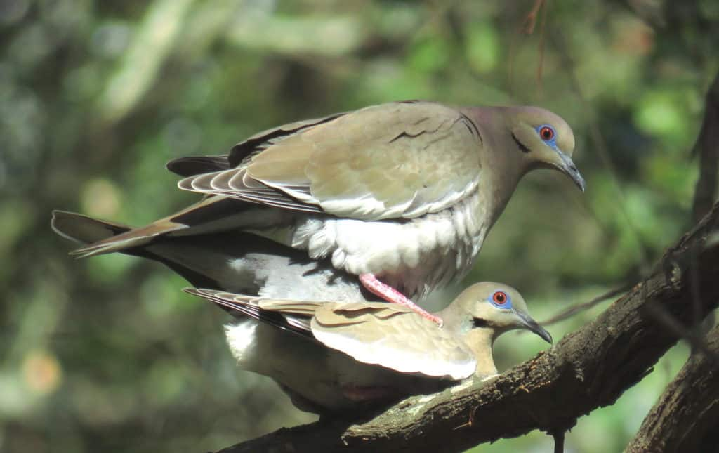 Male White-winged dove perched on the back of a female, with the rear part of their bodies touching.