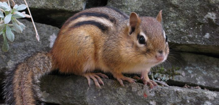 Chipmunk sitting on a stone wall.