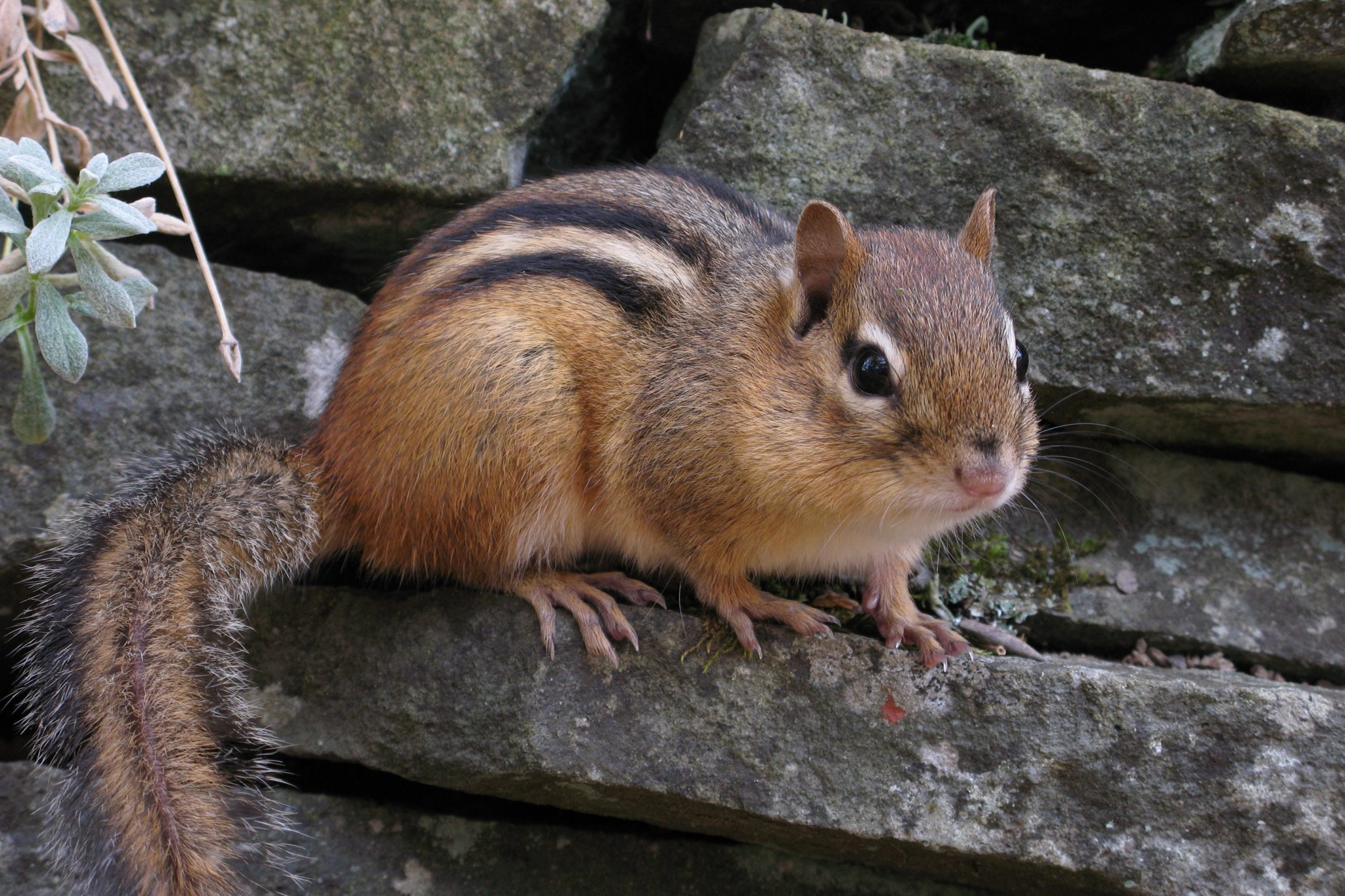 About chipmunks welcome wildlife chipmunk sitting on a stone wall sciox Images