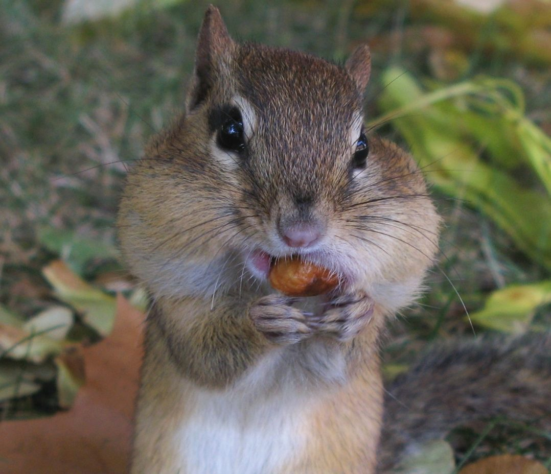 About chipmunks welcome wildlife eastern chipmunk with cheeks and mouth stuffed full sciox Images