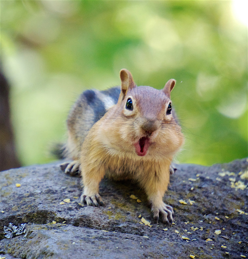 A chipmunk with its mouth open and chattering at the camera.
