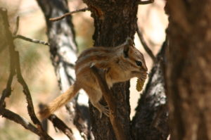 Chipmunk feeding on pinecone in a tree. (Wing-Chi Poon / Wiki; cc by-sa 2.5)