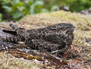 Common Poorwill. (Gavin Keefe Schaefer / Wiki; cc by 2.0)