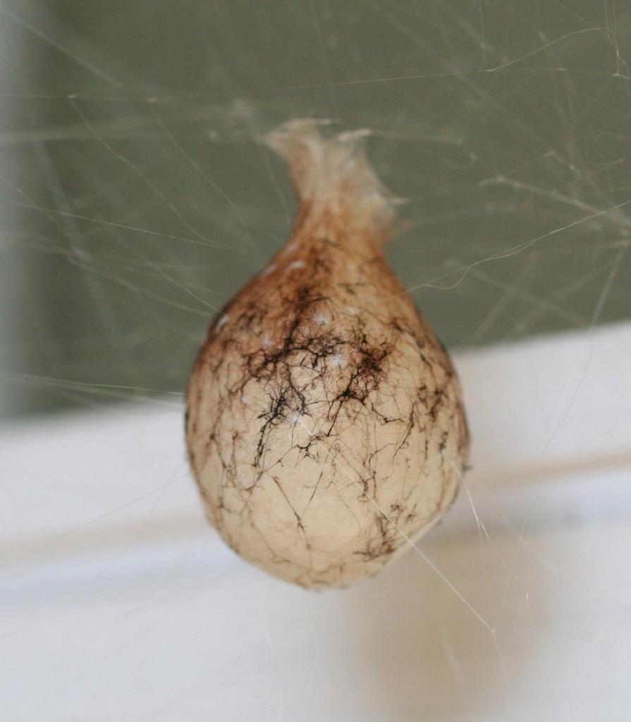Orb-weaver egg sac. (L Church / Flickr; cc by 2.0)