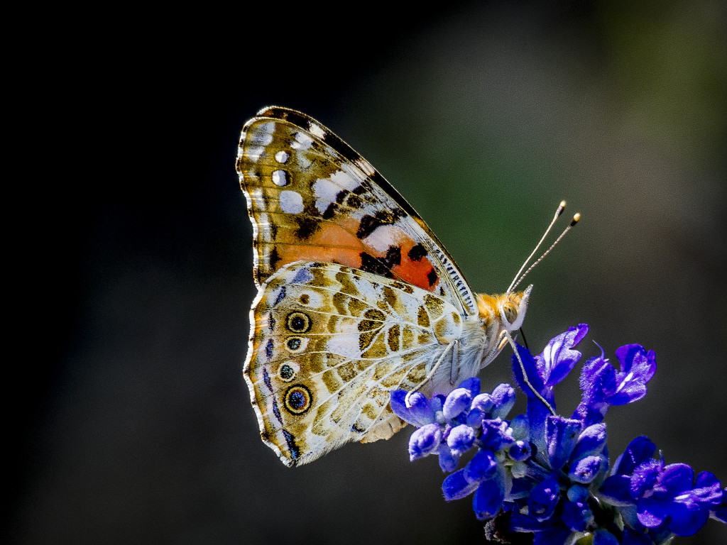 Painted Lady Butterfly (Vanessa cardui), a species that migrates periodically.