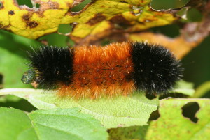 Isabella Tiger Moths  (Pyrrharctia isabella) hibernate as caterpillars known as Wooly Bears. (IronChris / EOL; cc by-sa 3.0)