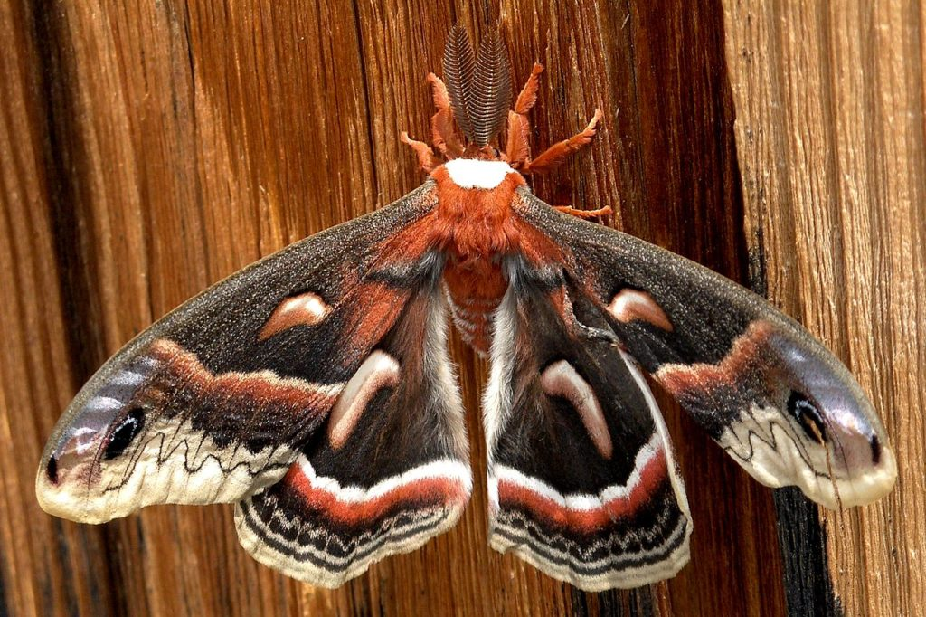 Cecropia Moth, Hyalophora cecropia, clinging to a vertical wood surface.
