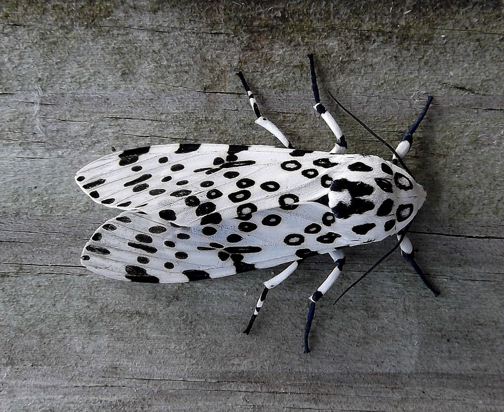 Giant Leopard Moth, Hypercompe scribonia, clinging to a gray-colored wood.