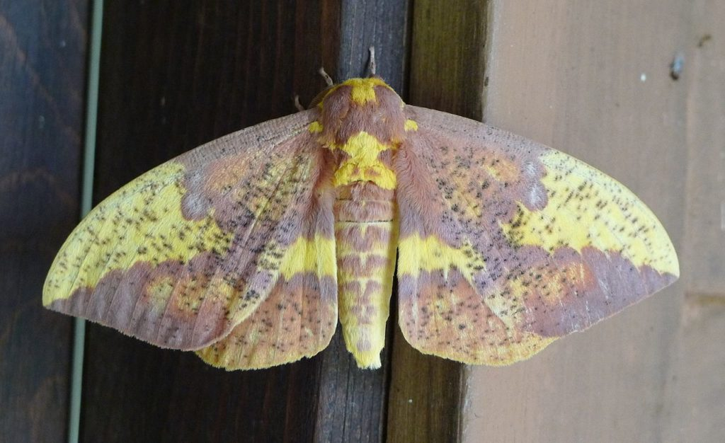 Imperial moth, Eacles imperialis, clinging to a window frame.