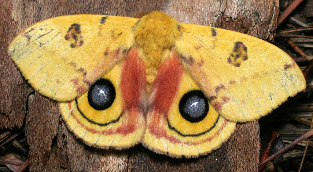 Io Moth, Automeris io, clinging vertically to a tree trunk.