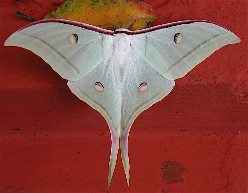 Luna moth, Actias luna, clinging to a vertical red surface.