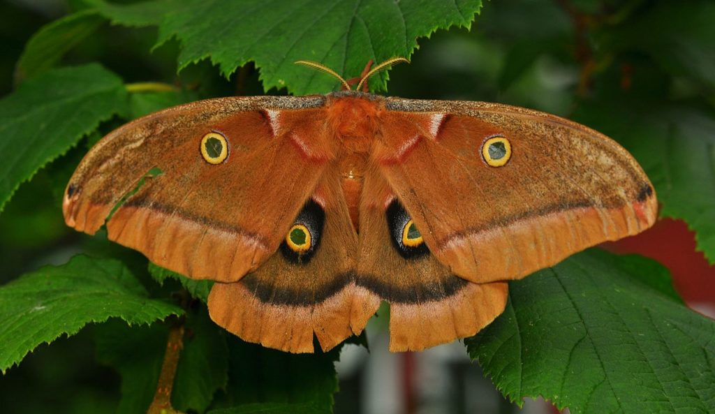 Polyphemus Moth, Antheraea polyphemus, clinging to a leaf.