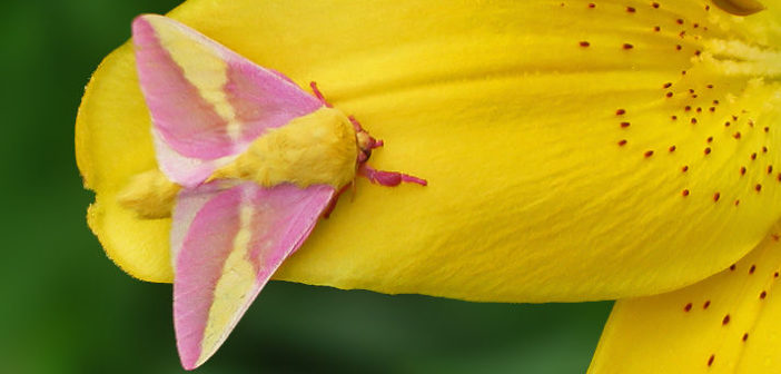 Rosy Maple Moth, Dryocampa rubicunda, sitting on a yellow flower petal.