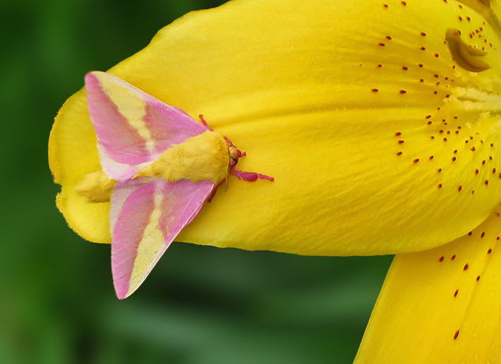 Rosy Maple Moth_Lynette Schimming_EOL_cc by-nc 3.0