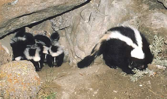 Striped Skunk mother, Mephitis mephitis, and her kits walking out of a hole in a rock pile.