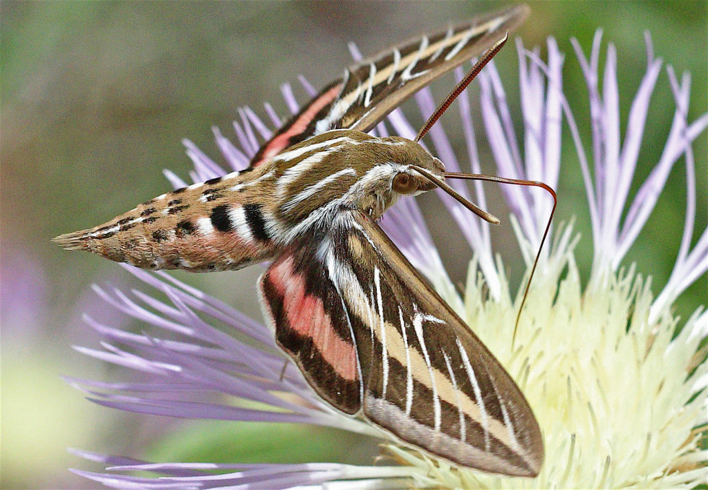 White-lined Sphinx Moth, Hyles lineata, hovering above a lavender-colored flower and sipping nectar, with its proboscis extended.