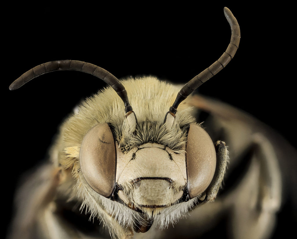 Close up of the face of a Long-horned Bee, Anthophora montana. The huge compound eyes that cover each side of her face look like headphones.