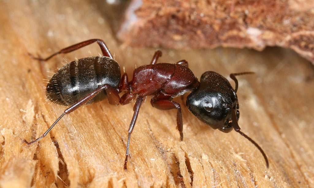 Carpenter ant sitting on a piece of wood.