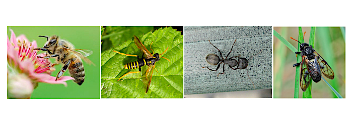 Composite of the four Hymenoptera insect-types: a sawfly, ant, bee, and wasp.